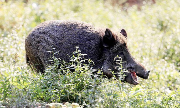 Wildschweine können Schweinepest verbreiten