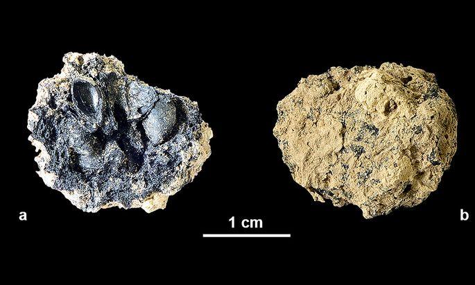 Bei der Ausgrabung einer jungsteinzeitlichen Siedlung in der Grundäckergasse konnten die verkohlten Reste eines Wildapfels geborgen werden.