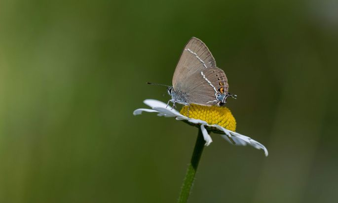 Schmetterlinge wie dieser Kreuzdorn-Zipfelfalter prägen artenreiche Wiesen.