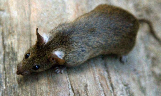 Ratten sind die bevorzugten Endwirte für den Rattenlungenwurm