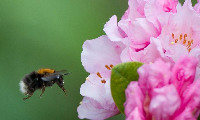 Unter Koffeineinfluss merken sich Hummeln leichter, welche Blüten sie anfliegen sollen.