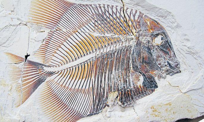 So sahen sie aus, die pycnodonten Fische. Was sie noch nicht konnten: den Kiefer ausstülpen und Beute ansaugen.