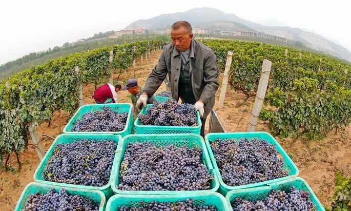 Traubenlese in China: 11,5 Millionen Hektoliter Wein wurden 2017 in dem Land produziert.