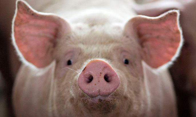 Bei dem neuen Erreger handelt es sich um einen Ableger der Schweinegrippe aus dem Jahr 2009.