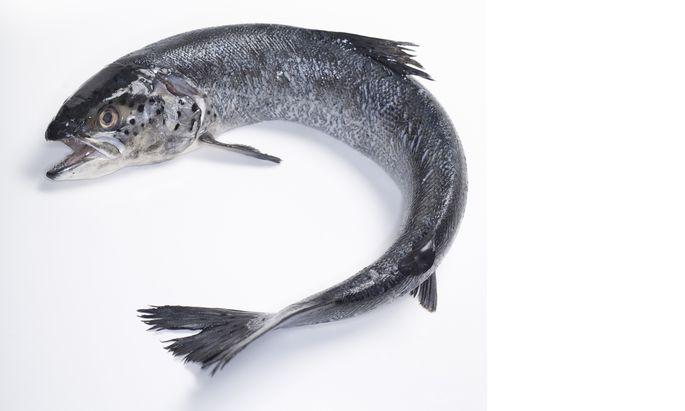 Gesünderer Lachs genießt künftig Patentschutz.