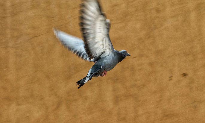 Die natürliche Flucht der Taube führt nach oben.