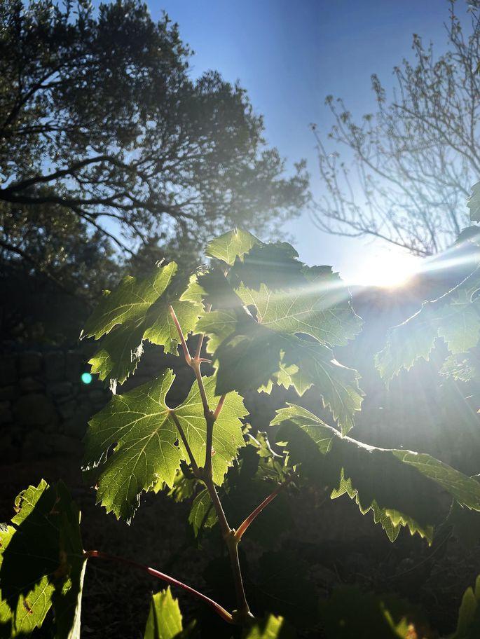 Genügsam und inspirierend, der Weinstock unter der kroatischen Sonne.