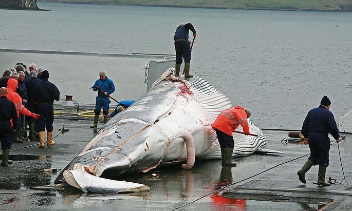 Ein getöteter Finnwal in der Nähe von Reykjavik.