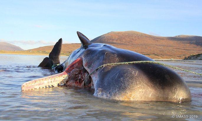 """""""Scottish Marine Animal Stranding Scheme"""" analysierte den Mageninhalt dieses toten Pottwals auf der Isle of Harris."""