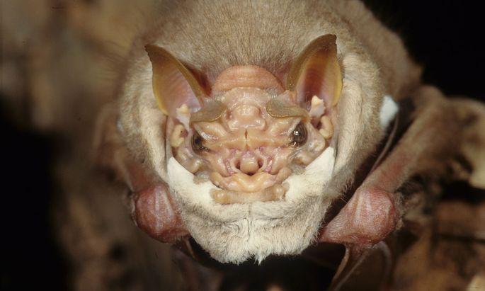 Hautfalte unter dem Kinn: Fledermaus-Männchen der Art Centurio senex.