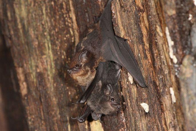 Sackflügelfledermaus-Mutter mit Baby, das sich an ihren Bauch klammert.