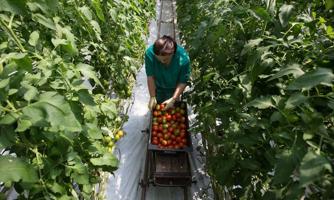 Putin Is Growing Organic Power One T-34 Tank-Tomato At A Time