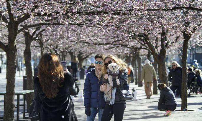 """""""Junge Leute werden ja kaum krank."""" Unbeschwerter Spaziergang zur Kirschblüte im Stockholmer Kungstradgarden Park.""""Junge Leute werden ja kaum krank."""" Unbeschwerter Spaziergang zur Kirschblüte im Stockholmer Kungstradgarden Park."""