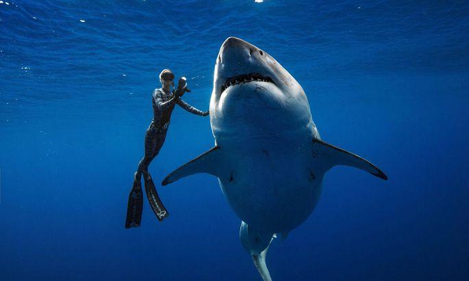 Der weibliche weiße Hai war womöglich Schwanger