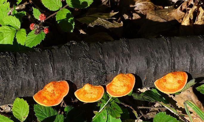 Pilze bauen Totholz ab, doch sie sind dabei nicht allein: Stickstoff fixierende Mikroorganismen helfen ihnen.