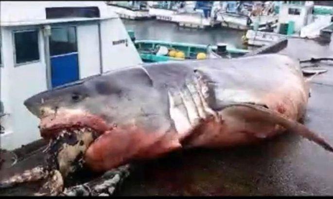 """Weißer Hai schnappt nach Meeresschildkröte und """"erstickt"""""""