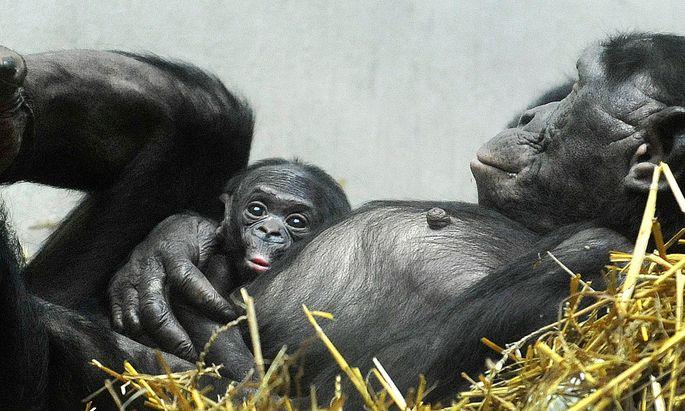 Bonobo-Jungtier