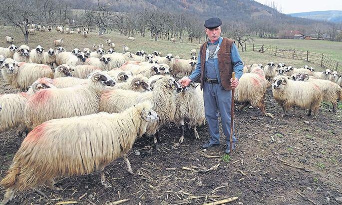 Der Hirte als Nationalsymbol Rumäniens: Alexandru Duma mit seinen Schafen in Osoi.
