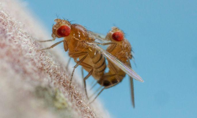 Männchen von Fruchtfliegen lecken gern an angebotenem Alkohol, wenn sie sexuell frustriert sind.