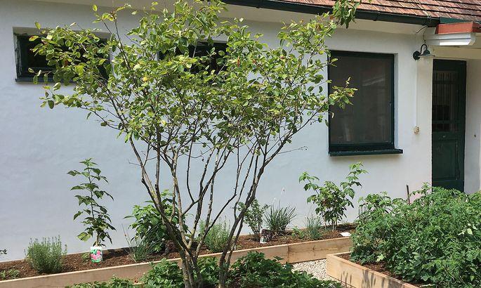 Naschgarten mit Felsenbirne, Monatserbeeren, Himbeeren, Tomaten, Kräuter. Die Einfassung der Beete besteht aus witterungsbeständigen Eichenholzpfosten.
