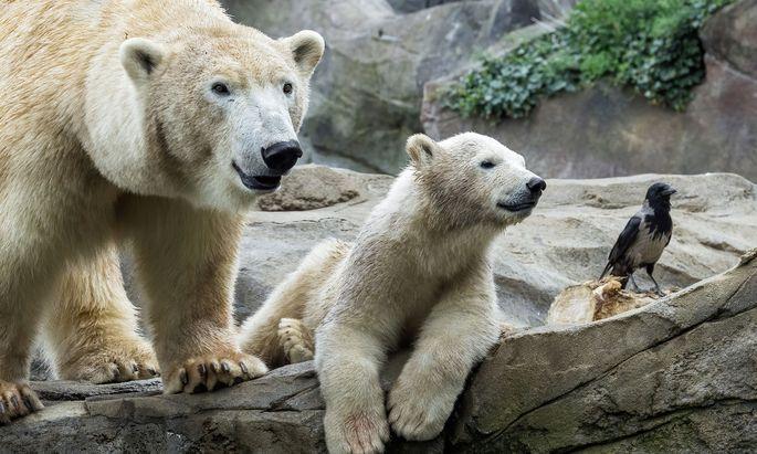 Einheimische Tiere wie Krähen kommen mit wärmerem Klima ähnlich gut zurecht wie der Eisbär im Tiergarten.