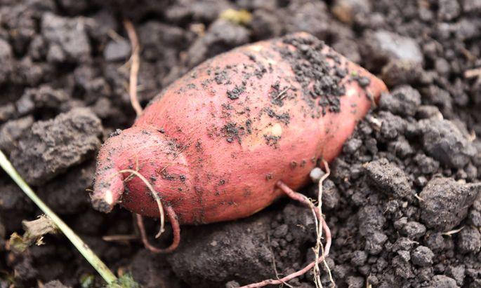Die Süßkartoffel.
