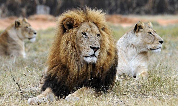 Ein Bild aus einem Löwenpark bei der südafrikanischen Stadt Pretoria.