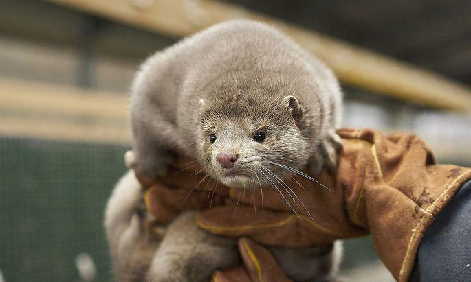 Wegen Corona-Mutationen mussten in Dänemark Millionen Tiere getötet werden.