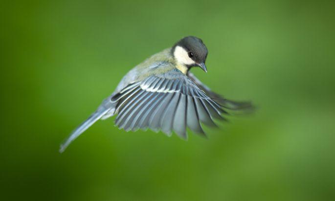 Kohlmeisen, aber auch allerlei andere Vogelarten sollen beim Austrian BirdRace am Samstag erfasst werden.
