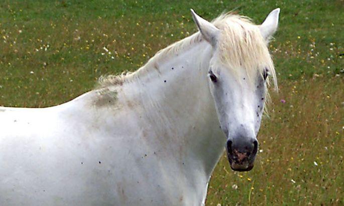 Argentinien Spur Pferde