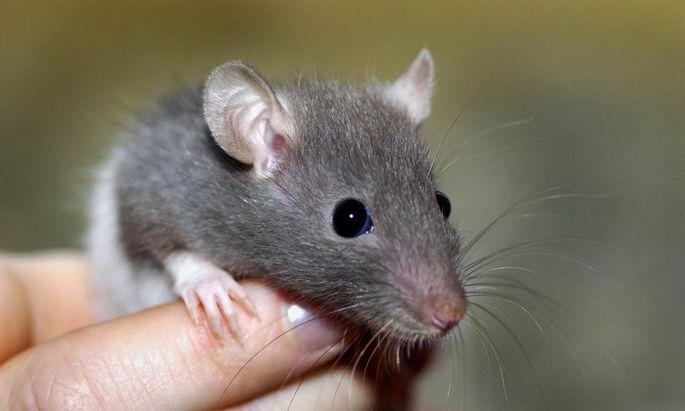 Ratte auf einer Hand