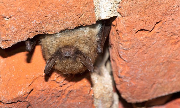 Kleine Bartfledermaus (Myotis mystacinus), ueberwinternde Bartfledermaus in einem Keller, Belgien, Ostflandern, Fort van