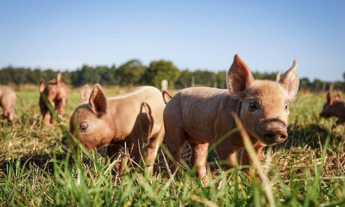 Das Bio-Schwein hat Auslauf ins Freie, Stroh im Stall und biologisches Futter ohne Gentechnik.