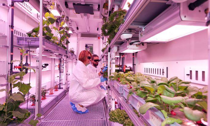 Rosa Beleuchtung soll die Pflanzen im Gewächshaus Eden ISS besser wachsen lassen. Ihre Wurzeln hängen in der Luft und werden alle zehn Minuten mit Wasser und Nährstoffen besprüht.