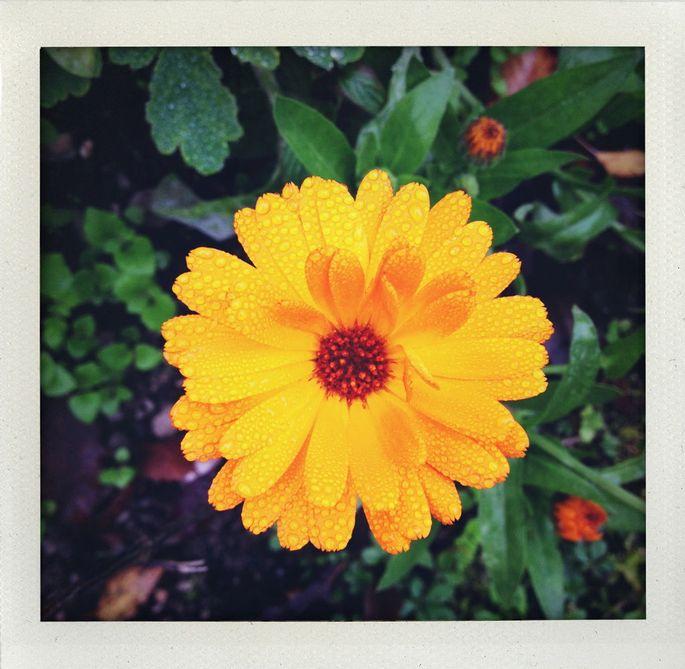 Die Ringelblume gedeiht so gut wie überall.