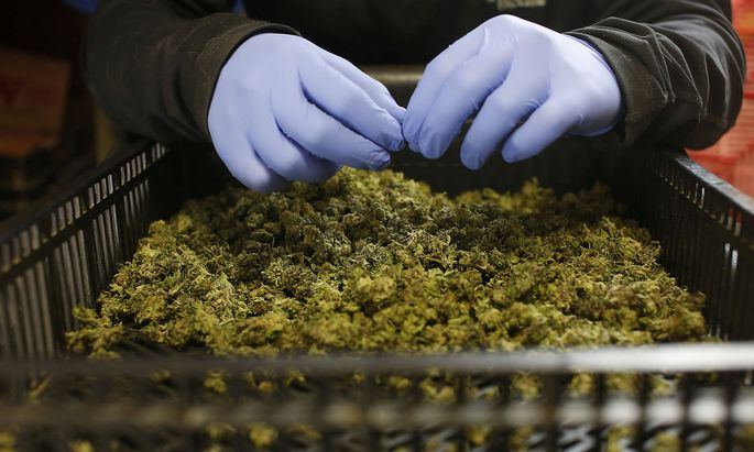 FILE PHOTO: An employee sorts freshly harvested cannabis buds at a medical marijuana plantation in northern Israel