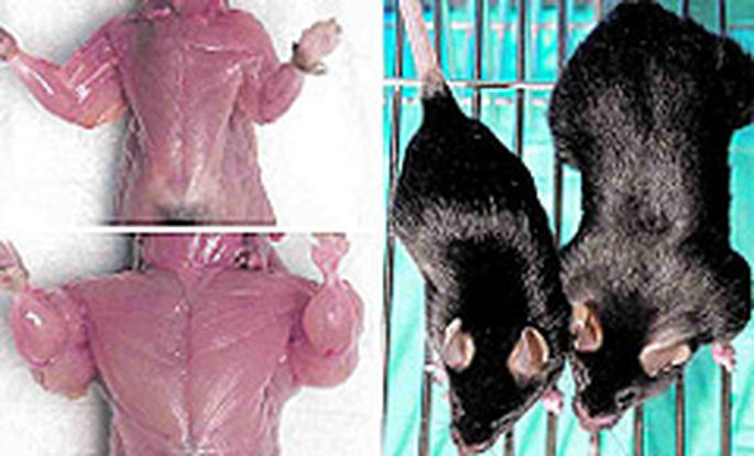 Es tut den Augen weh: Links unten (und rechts außen) zeigt die Maus ihre Muskeln.