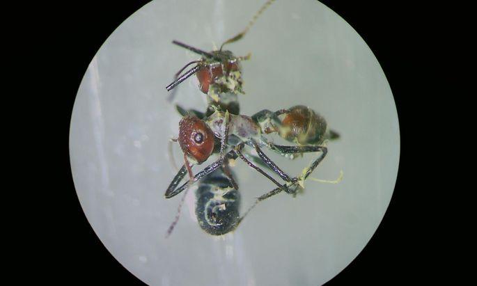 Ein Exemplar einer explodierten Ameise.