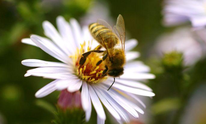 warum Bienen dahingerafft werden