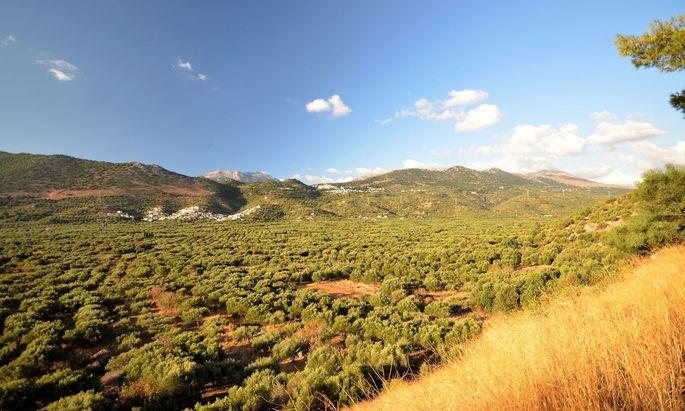 Olivenhaine, alte und neue, bis zum Horizont.