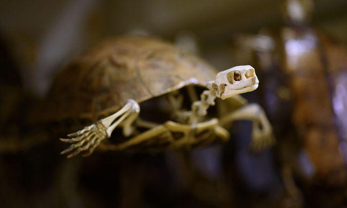 Die Exemplare im NHM sind so präpariert, dass man auch Hunderte Jahre später neues Wissen entdecken kann.