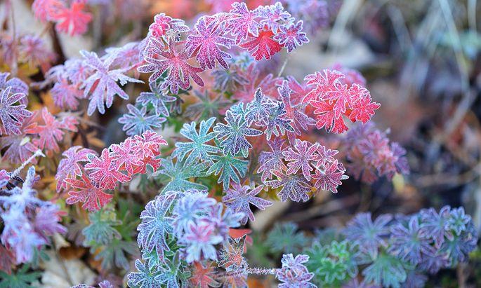 Frost kann für die Entwicklung mancher Pflanzen wichtig sein.