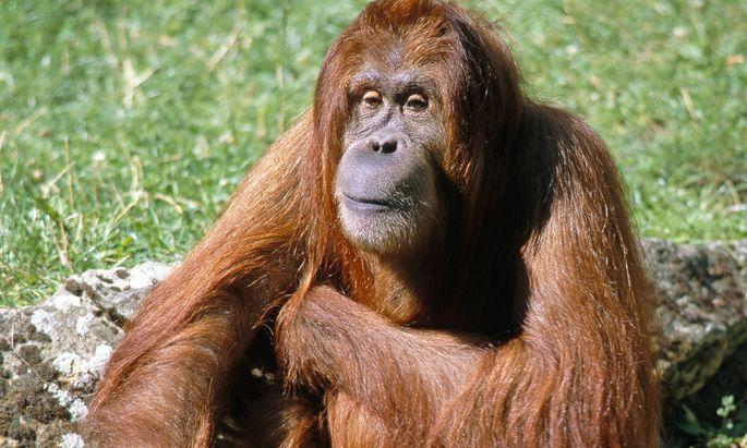 Die Zerstörung ihrer Habitate und die Jagd haben zu einem dramatischen Rückgang der Population gesorgt. Aber Orang-Utans sind flexibel und nutzen auch, was aus ihren früheren Habitaten geworden ist.