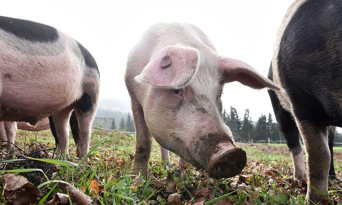 Schweine haben keine Schweißdrüsen.
