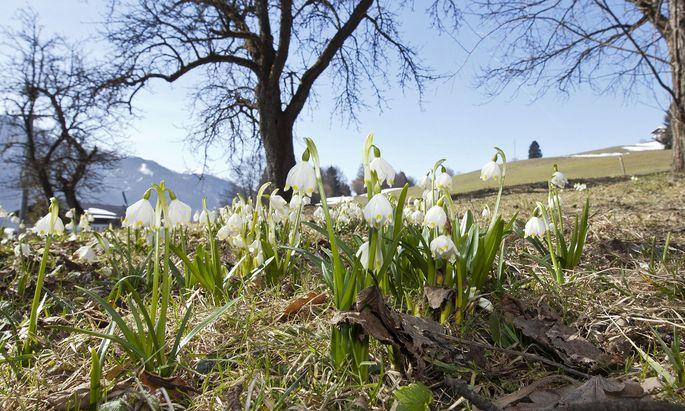 Frühlingsfeature mit Schneeglöckerl am Angerberg