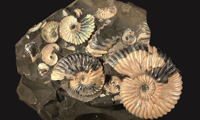 """Auch etliche Arten von Ammoniten - Kopffüßer, die einst sehr häufig waren - überlebten das """"Carnian Pluvian Event"""" nicht."""