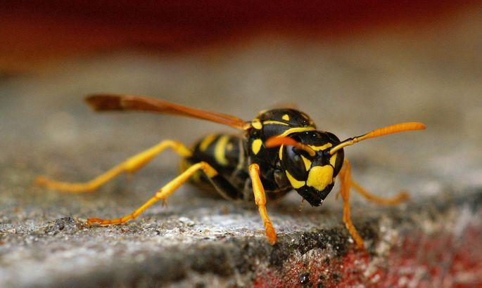 Das Verb wepsen hat etwas mit der Wespe zu tun.