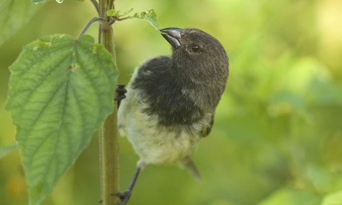 Der kleine Baumfink gehört zu den am stärksten von den Parasiten betroffenen Arten auf den Galapagosinseln.
