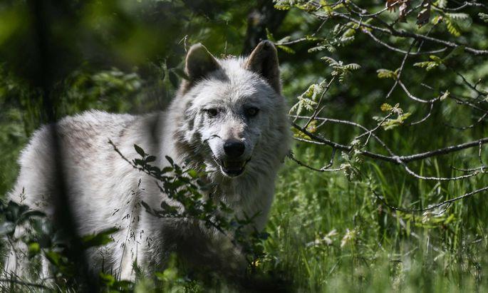 Wölfe finden in unserer Kulturlandschaft ein reichhaltiges Angebot an Beutetieren.