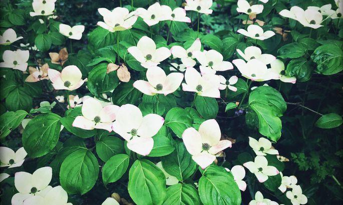 Pflanzen nur im eigenen Habitat kultivieren, lautete die Philosophie Chattos. Etwa den Blumenhartriegel.
